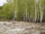 Photograph by Simon Roberts showing young birch trees on an overcast day